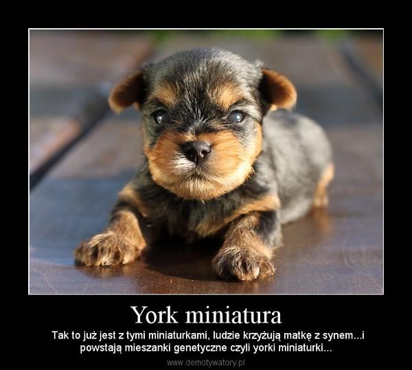York miniatura –  Tak to już jest z tymi miniaturkami, ludzie krzyżują matkę z synem...ipowstają mieszanki genetyczne czyli yorki miniaturki...