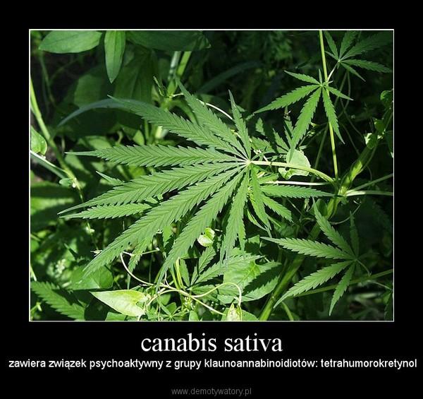 canabis sativa –  zawiera związek psychoaktywny z grupy klaunoannabinoidiotów: tetrahumorokretynol