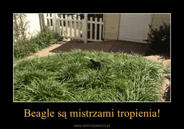 Beagle są mistrzami tropienia! –