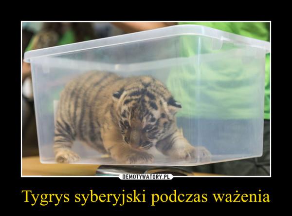 Tygrys syberyjski podczas ważenia –