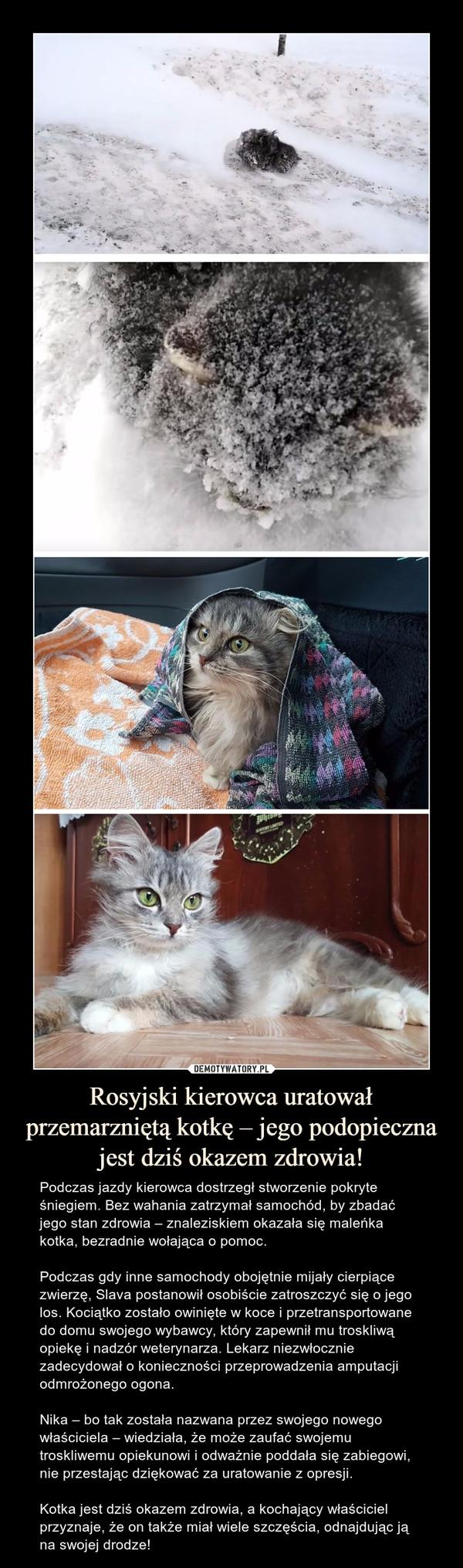 Rosyjski kierowca uratował przemarzniętą kotkę – jego podopieczna jest dziś okazem zdrowia! – Podczas jazdy kierowca dostrzegł stworzenie pokryte śniegiem. Bez wahania zatrzymał samochód, by zbadać jego stan zdrowia – znaleziskiem okazała się maleńka kotka, bezradnie wołająca o pomoc.Podczas gdy inne samochody obojętnie mijały cierpiące zwierzę, Slava postanowił osobiście zatroszczyć się o jego los. Kociątko zostało owinięte w koce i przetransportowane do domu swojego wybawcy, który zapewnił mu troskliwą opiekę i nadzór weterynarza. Lekarz niezwłocznie zadecydował o konieczności przeprowadzenia amputacji odmrożonego ogona.Nika – bo tak została nazwana przez swojego nowego właściciela – wiedziała, że może zaufać swojemu troskliwemu opiekunowi i odważnie poddała się zabiegowi, nie przestając dziękować za uratowanie z opresji.Kotka jest dziś okazem zdrowia, a kochający właściciel przyznaje, że on także miał wiele szczęścia, odnajdując ją na swojej drodze!