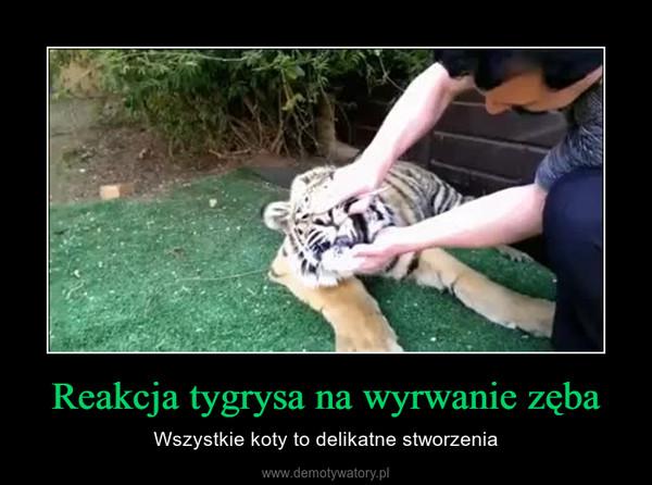 Reakcja tygrysa na wyrwanie zęba – Wszystkie koty to delikatne stworzenia