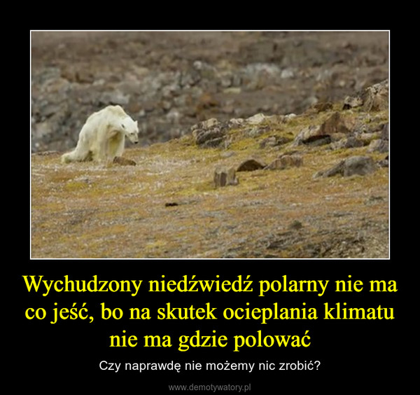 Wychudzony niedźwiedź polarny nie ma co jeść, bo na skutek ocieplania klimatu nie ma gdzie polować – Czy naprawdę nie możemy nic zrobić?