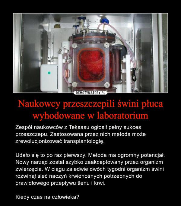 Naukowcy przeszczepili świni płuca wyhodowane w laboratorium – Zespół naukowców z Teksasu ogłosił pełny sukces przeszczepu. Zastosowana przez nich metoda może zrewolucjonizować transplantologię.Udało się to po raz pierwszy. Metoda ma ogromny potencjał. Nowy narząd został szybko zaakceptowany przez organizm zwierzęcia. W ciągu zaledwie dwóch tygodni organizm świni rozwinął sieć naczyń krwionośnych potrzebnych do prawidłowego przepływu tlenu i krwi.Kiedy czas na człowieka?