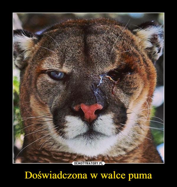 Doświadczona w walce puma –