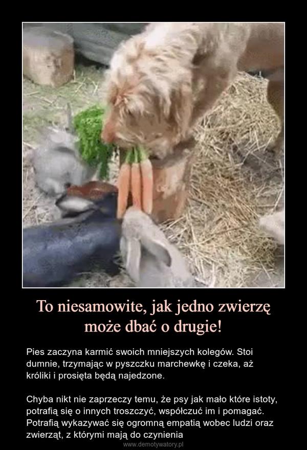 To niesamowite, jak jedno zwierzęmoże dbać o drugie! – Pies zaczyna karmić swoich mniejszych kolegów. Stoi dumnie, trzymając w pyszczku marchewkę i czeka, aż króliki i prosięta będą najedzone.Chyba nikt nie zaprzeczy temu, że psy jak mało które istoty, potrafią się o innych troszczyć, współczuć im i pomagać. Potrafią wykazywać się ogromną empatią wobec ludzi oraz zwierząt, z którymi mają do czynienia