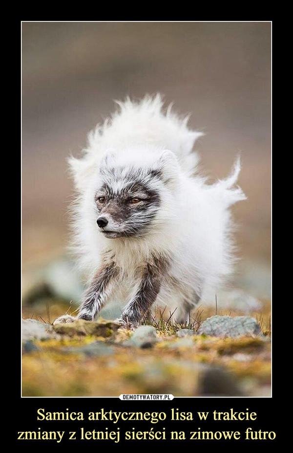 Samica arktycznego lisa w trakcie zmiany z letniej sierści na zimowe futro –