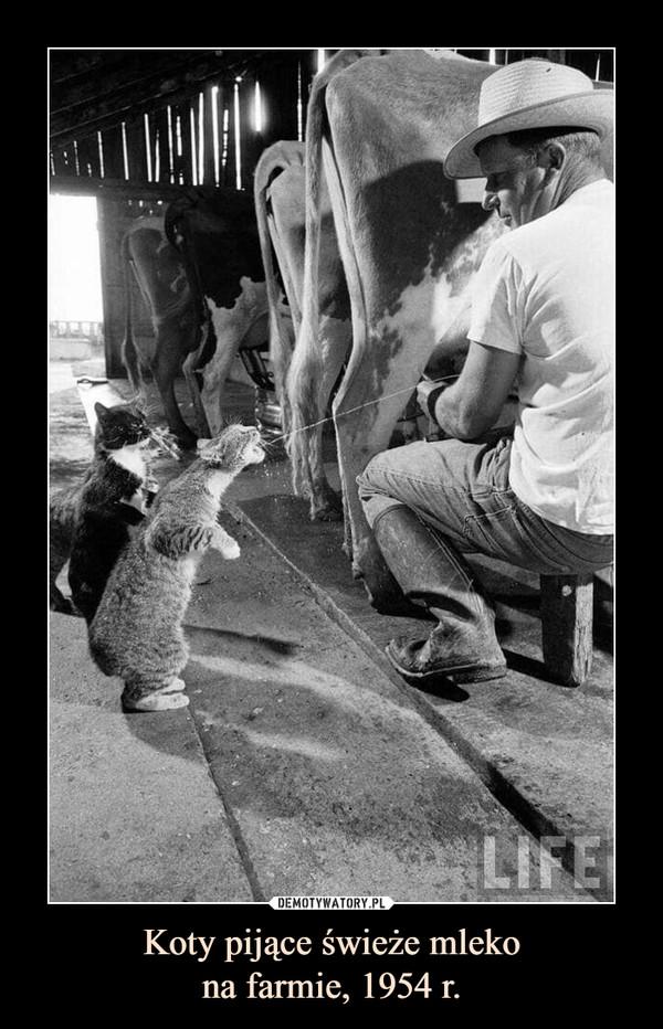 Koty pijące świeże mlekona farmie, 1954 r. –