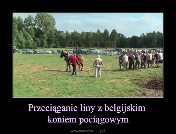 Przeciąganie liny z belgijskim koniem pociągowym –