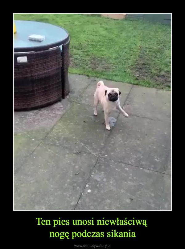 Ten pies unosi niewłaściwą nogę podczas sikania –
