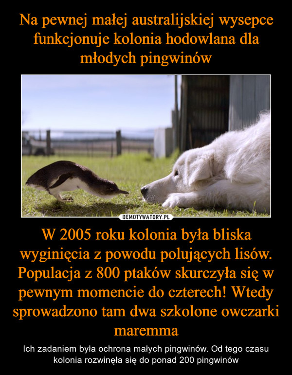 W 2005 roku kolonia była bliska wyginięcia z powodu polujących lisów. Populacja z 800 ptaków skurczyła się w pewnym momencie do czterech! Wtedy sprowadzono tam dwa szkolone owczarki maremma – Ich zadaniem była ochrona małych pingwinów. Od tego czasu kolonia rozwinęła się do ponad 200 pingwinów