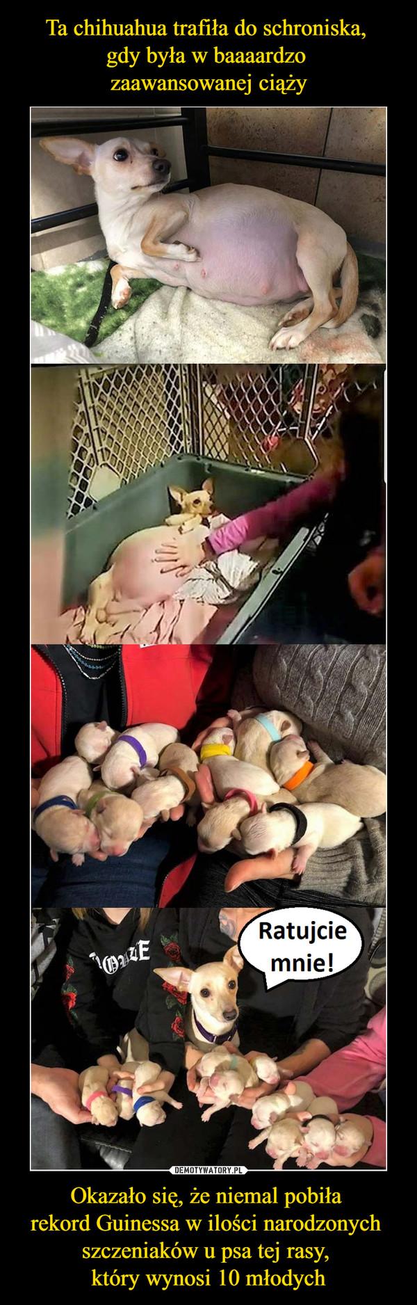 Okazało się, że niemal pobiła rekord Guinessa w ilości narodzonych szczeniaków u psa tej rasy, który wynosi 10 młodych –  Ratujcie mnie!