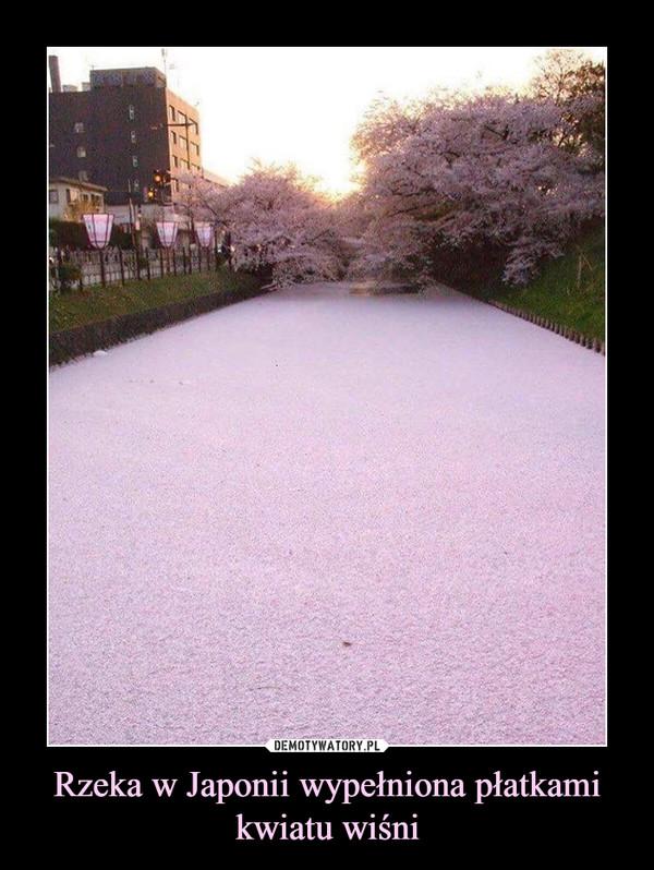 Rzeka w Japonii wypełniona płatkami kwiatu wiśni –
