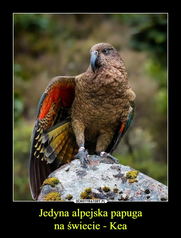 Jedyna alpejska papugana świecie - Kea –