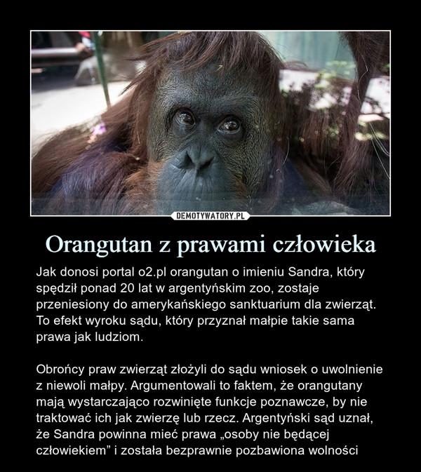 """Orangutan z prawami człowieka – Jak donosi portal o2.pl orangutan o imieniu Sandra, który spędził ponad 20 lat w argentyńskim zoo, zostaje przeniesiony do amerykańskiego sanktuarium dla zwierząt. To efekt wyroku sądu, który przyznał małpie takie sama prawa jak ludziom.Obrońcy praw zwierząt złożyli do sądu wniosek o uwolnienie z niewoli małpy. Argumentowali to faktem, że orangutany mają wystarczająco rozwinięte funkcje poznawcze, by nie traktować ich jak zwierzę lub rzecz. Argentyński sąd uznał, że Sandra powinna mieć prawa """"osoby nie będącej człowiekiem"""" i została bezprawnie pozbawiona wolności"""
