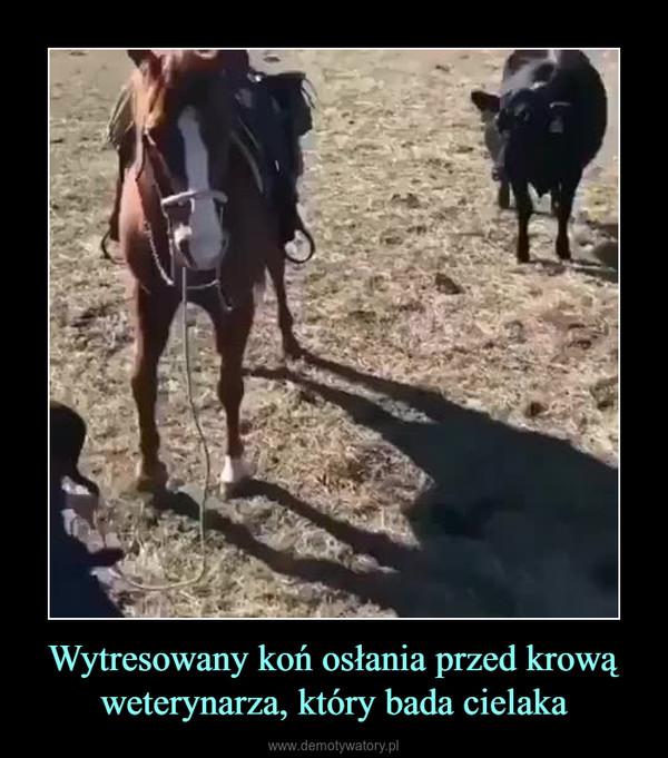 Wytresowany koń osłania przed krową weterynarza, który bada cielaka –