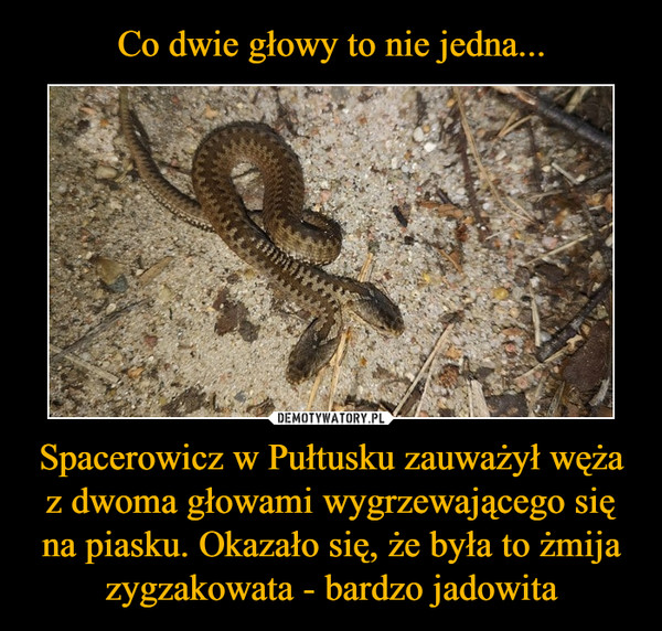 Spacerowicz w Pułtusku zauważył węża z dwoma głowami wygrzewającego się na piasku. Okazało się, że była to żmija zygzakowata - bardzo jadowita –