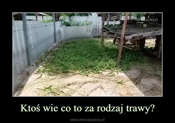 Ktoś wie co to za rodzaj trawy? –
