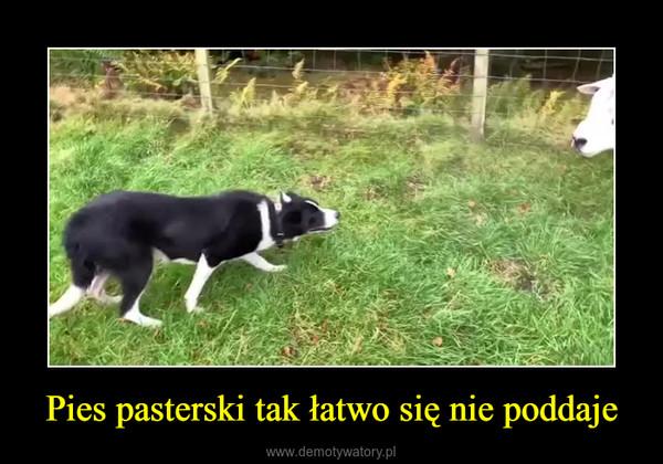 Pies pasterski tak łatwo się nie poddaje –