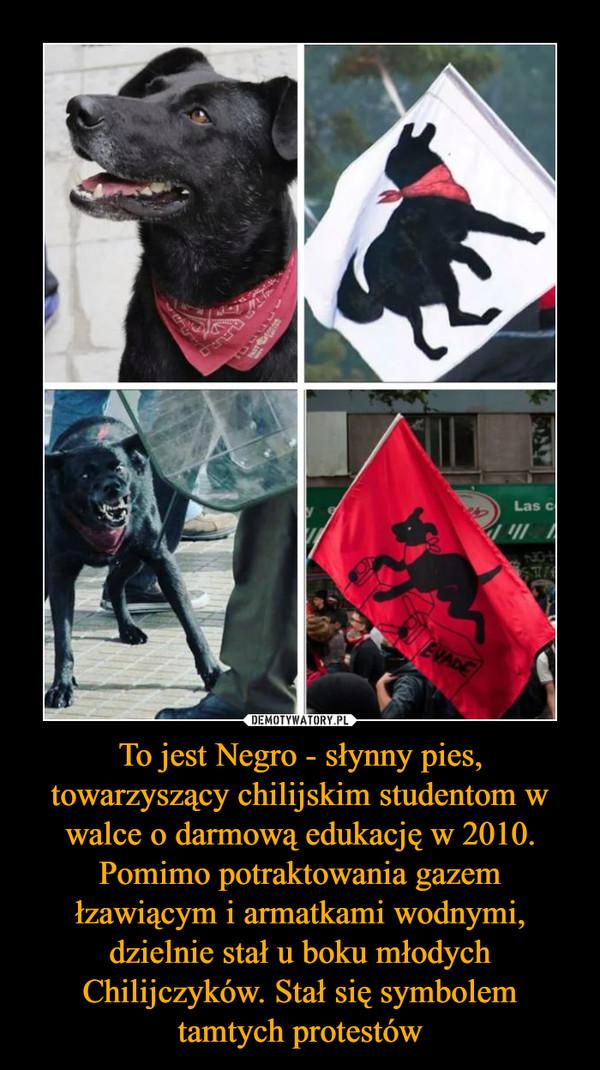 To jest Negro - słynny pies, towarzyszący chilijskim studentom w walce o darmową edukację w 2010. Pomimo potraktowania gazem łzawiącym i armatkami wodnymi, dzielnie stał u boku młodych Chilijczyków. Stał się symbolem tamtych protestów –