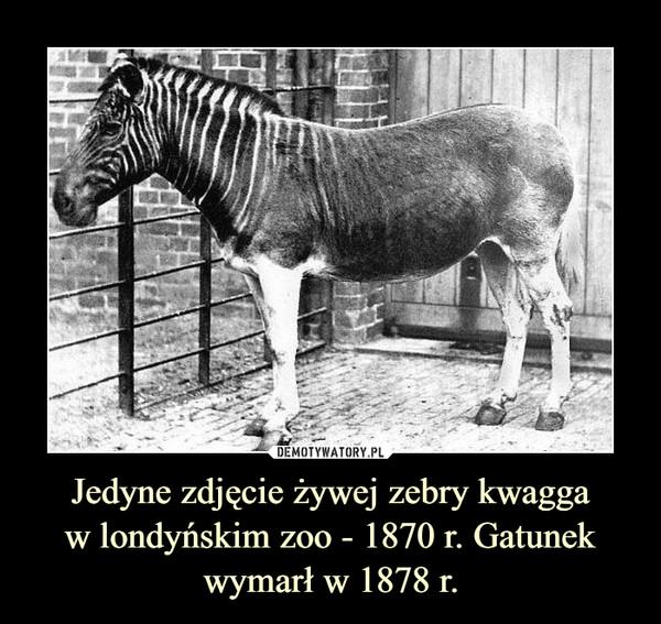 Jedyne zdjęcie żywej zebry kwaggaw londyńskim zoo - 1870 r. Gatunek wymarł w 1878 r. –