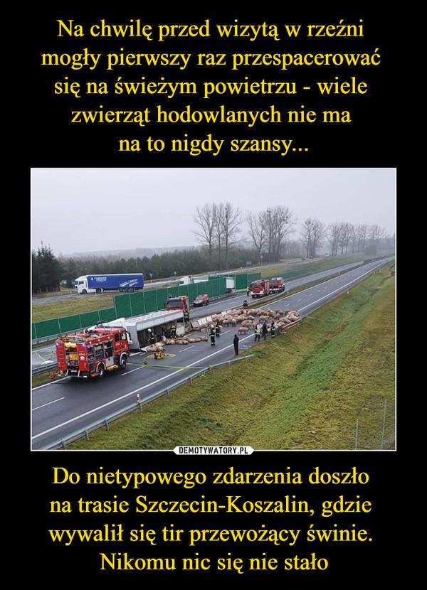 Do nietypowego zdarzenia doszło na trasie Szczecin-Koszalin, gdzie wywalił się tir przewożący świnie. Nikomu nic się nie stało –