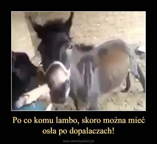 Po co komu lambo, skoro można mieć osła po dopalaczach! –