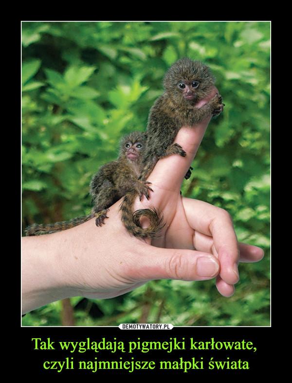 Tak wyglądają pigmejki karłowate, czyli najmniejsze małpki świata –