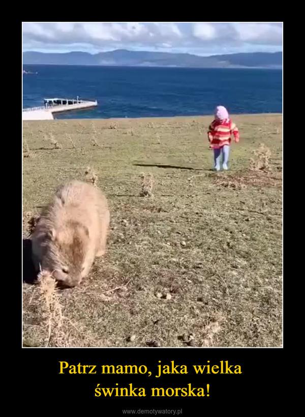 Patrz mamo, jaka wielka świnka morska! –