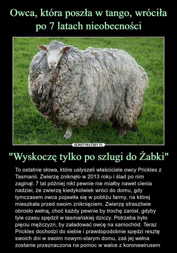 """""""Wyskoczę tylko po szlugi do Żabki"""" – To ostatnie słowa, które usłyszeli właściciele owcy Prickles z Tasmanii. Zwierzę zniknęło w 2013 roku i ślad po nim zaginął. 7 lat później nikt pewnie nie miałby nawet cienia nadziei, że zwierzę kiedykolwiek wróci do domu, gdy tymczasem owca pojawiła się w pobliżu farmy, na której mieszkała przed swoim zniknięciem. Zwierzę straszliwie obrosło wełną, choć każdy pewnie by trochę zarósł, gdyby tyle czasu spędził w tasmańskiej dziczy. Potrzeba było pięciu mężczyzn, by załadować owcę na samochód. Teraz Prickles dochodzi do siebie i prawdopodobnie spędzi resztę swoich dni w swoim nowym-starym domu, zaś jej wełna zostanie przeznaczona na pomoc w walce z koronawirusem To ostatnie słowa, które usłyszeli właściciele owcy Prickles z Tasmanii. Zwierzę zniknęło w 2013 roku i ślad po nim zaginął. 7 lat później nikt pewnie nie miałby nawet cienia nadziei, że zwierzę kiedykolwiek wróci do domu, gdy tymczasem owca pojawiła się w pobliżu farmy, na której mieszkała przed swoim zniknięciem. Zwierzę straszliwie obrosło wełną, choć każdy pewnie by trochę zarósł, gdyby tyle czasu spędził w tasmańskiej dziczy. Potrzeba było pięciu mężczyzn, by załadować owcę na samochód. Teraz Prickles dochodzi do siebie i prawdopodobnie spędzi resztę swoich dni w swoim nowym-starym domu, zaś jej wełna zostanie przeznaczona na pomoc w walce z koronawirusem"""