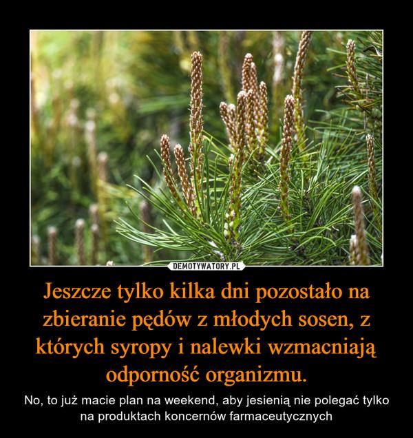 Jeszcze tylko kilka dni pozostało na zbieranie pędów z młodych sosen, z których syropy i nalewki wzmacniają odporność organizmu. – No, to już macie plan na weekend, aby jesienią nie polegać tylko na produktach koncernów farmaceutycznych