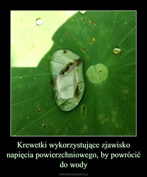 Krewetki wykorzystujące zjawisko napięcia powierzchniowego, by powrócić do wody –