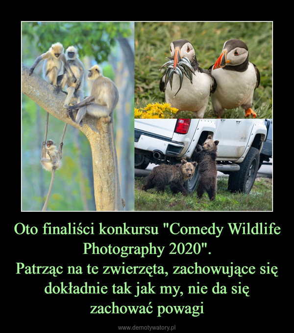 """Oto finaliści konkursu """"Comedy Wildlife Photography 2020"""".Patrząc na te zwierzęta, zachowujące się dokładnie tak jak my, nie da się zachować powagi –"""