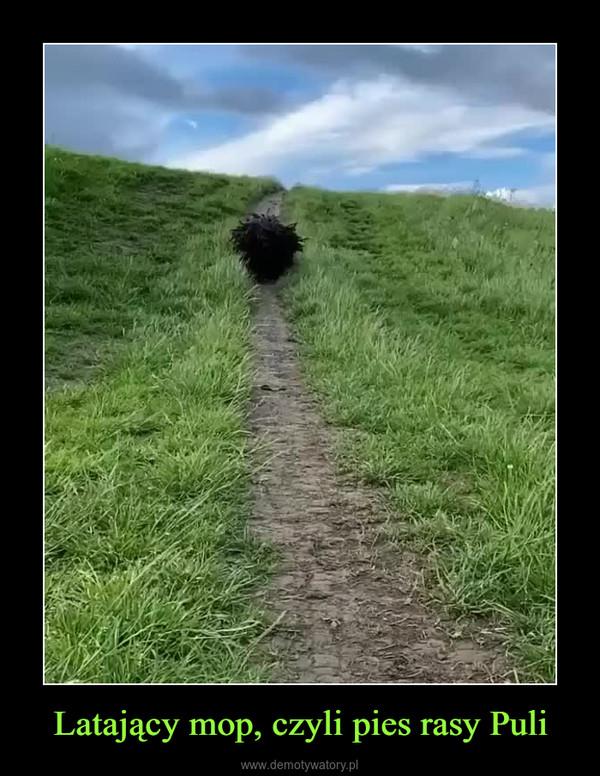 Latający mop, czyli pies rasy Puli –