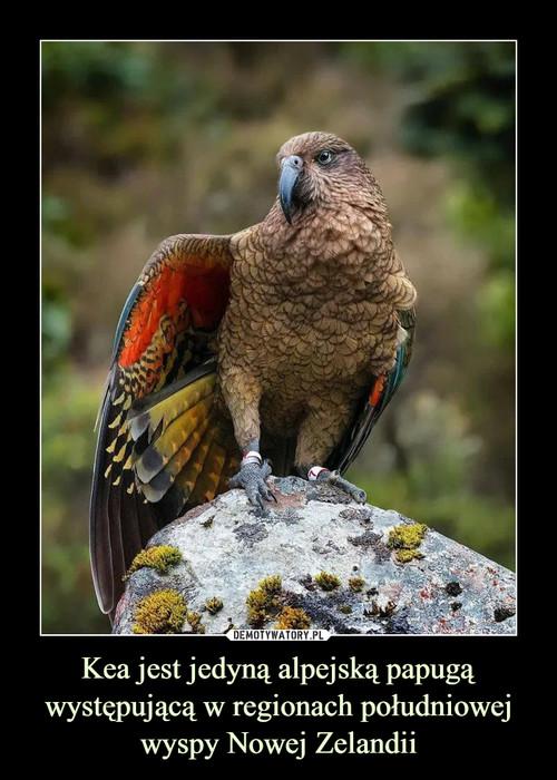Kea jest jedyną alpejską papugą występującą w regionach południowej wyspy Nowej Zelandii