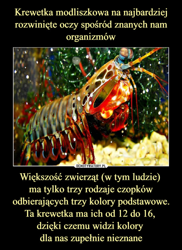 Większość zwierząt (w tym ludzie) ma tylko trzy rodzaje czopków odbierających trzy kolory podstawowe. Ta krewetka ma ich od 12 do 16, dzięki czemu widzi kolory dla nas zupełnie nieznane –