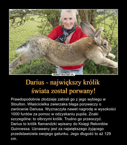 Darius - największy królik  świata został porwany!
