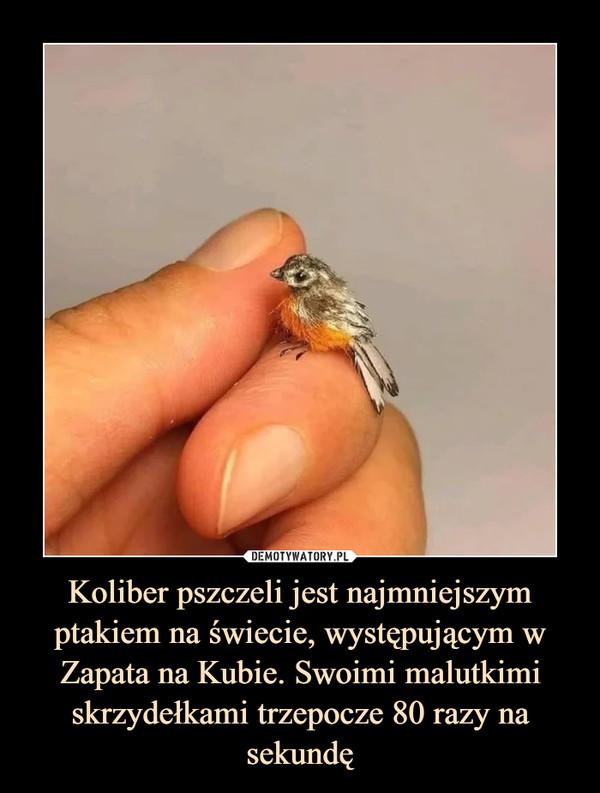 Koliber pszczeli jest najmniejszym ptakiem na świecie, występującym w Zapata na Kubie. Swoimi malutkimi skrzydełkami trzepocze 80 razy na sekundę –