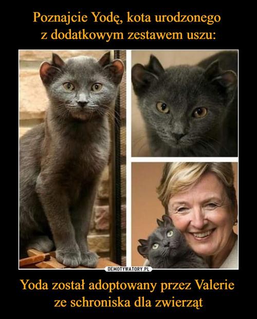 Poznajcie Yodę, kota urodzonego  z dodatkowym zestawem uszu: Yoda został adoptowany przez Valerie  ze schroniska dla zwierząt