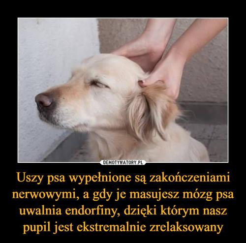 Uszy psa wypełnione są zakończeniami nerwowymi, a gdy je masujesz mózg psa uwalnia endorfiny, dzięki którym nasz pupil jest ekstremalnie zrelaksowany