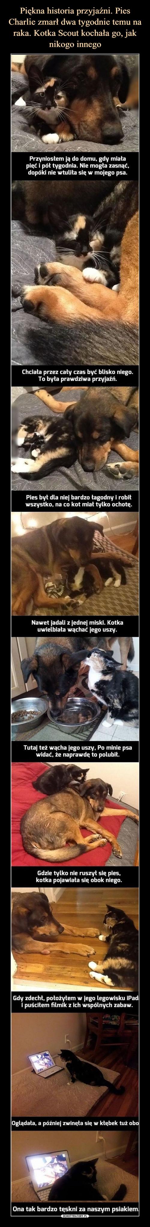 Piękna historia przyjaźni. Pies Charlie zmarł dwa tygodnie temu na raka. Kotka Scout kochała go, jak nikogo innego