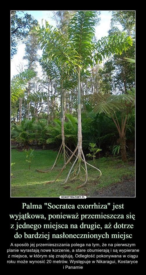 """Palma """"Socratea exorrhiza"""" jest wyjątkowa, ponieważ przemieszcza się  z jednego miejsca na drugie, aż dotrze  do bardziej nasłonecznionych miejsc"""