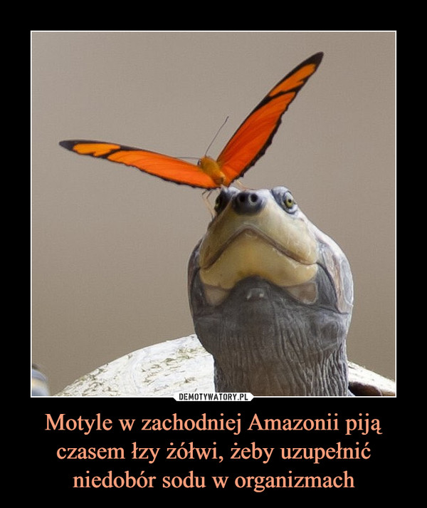 Motyle w zachodniej Amazonii piją czasem łzy żółwi, żeby uzupełnić niedobór sodu w organizmach –