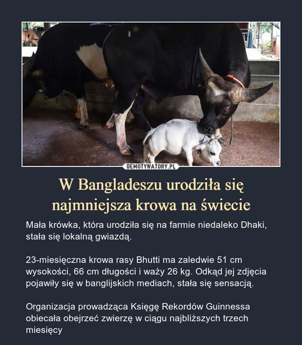 W Bangladeszu urodziła sięnajmniejsza krowa na świecie – Mała krówka, która urodziła się na farmie niedaleko Dhaki, stała się lokalną gwiazdą.23-miesięczna krowa rasy Bhutti ma zaledwie 51 cm wysokości, 66 cm długości i waży 26 kg. Odkąd jej zdjęcia pojawiły się w banglijskich mediach, stała się sensacją.Organizacja prowadząca Księgę Rekordów Guinnessa obiecała obejrzeć zwierzę w ciągu najbliższych trzech miesięcy