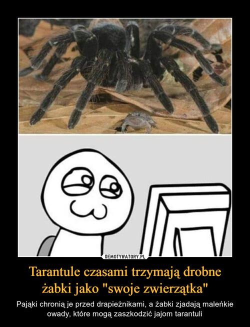 """Tarantule czasami trzymają drobne żabki jako """"swoje zwierzątka"""""""