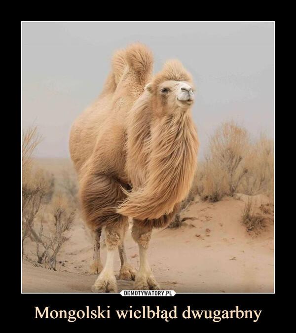 Mongolski wielbłąd dwugarbny –