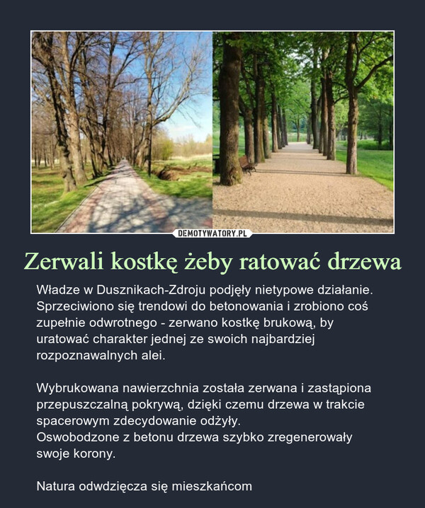 Zerwali kostkę żeby ratować drzewa – Władze w Dusznikach-Zdroju podjęły nietypowe działanie. Sprzeciwiono się trendowi do betonowania i zrobiono coś zupełnie odwrotnego - zerwano kostkę brukową, by uratować charakter jednej ze swoich najbardziej rozpoznawalnych alei.Wybrukowana nawierzchnia została zerwana i zastąpiona przepuszczalną pokrywą, dzięki czemu drzewa w trakcie spacerowym zdecydowanie odżyły.Oswobodzone z betonu drzewa szybko zregenerowały swoje korony.Natura odwdzięcza się mieszkańcom