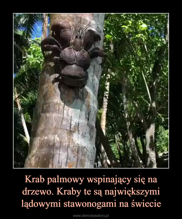 Krab palmowy wspinający się na drzewo. Kraby te są największymi lądowymi stawonogami na świecie –